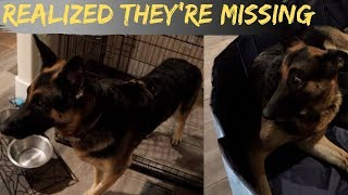 German Shepherd Just Realized Her Puppies Are Missing!