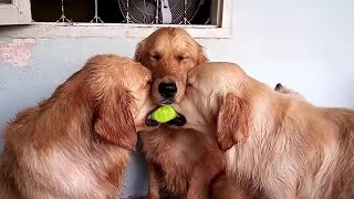 These golden retrievers will make you laugh your HEAD OF - Funny dog compilation