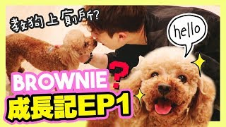 [🐶Brownie's Growing Diary]  Scared of Muffin at first? Teaching dogs to pee successfuly!🚽