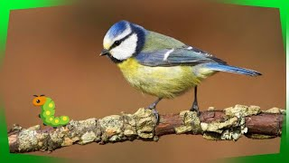 How To Unwind With Beautiful Birds Chirping And Singing: Relaxation And Calm Feelings